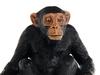 Шимпанзе. Вид 3